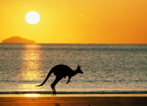 wallaby by ocean